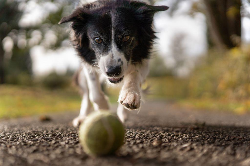 chien attrape balle